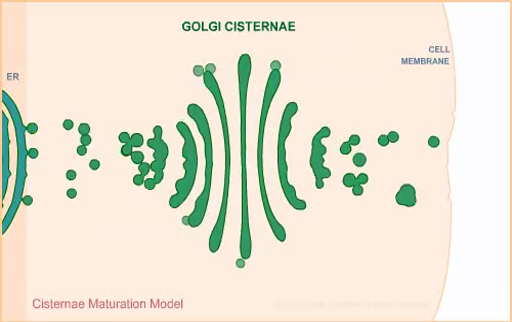 Cisternal maturation model