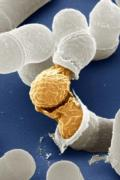 Birth of a yeast cell