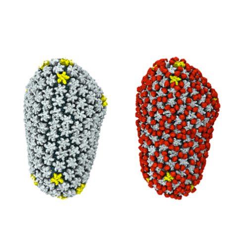 Cryo-EM reveals how the HIV capsid attaches to a human protein to evade immune detection