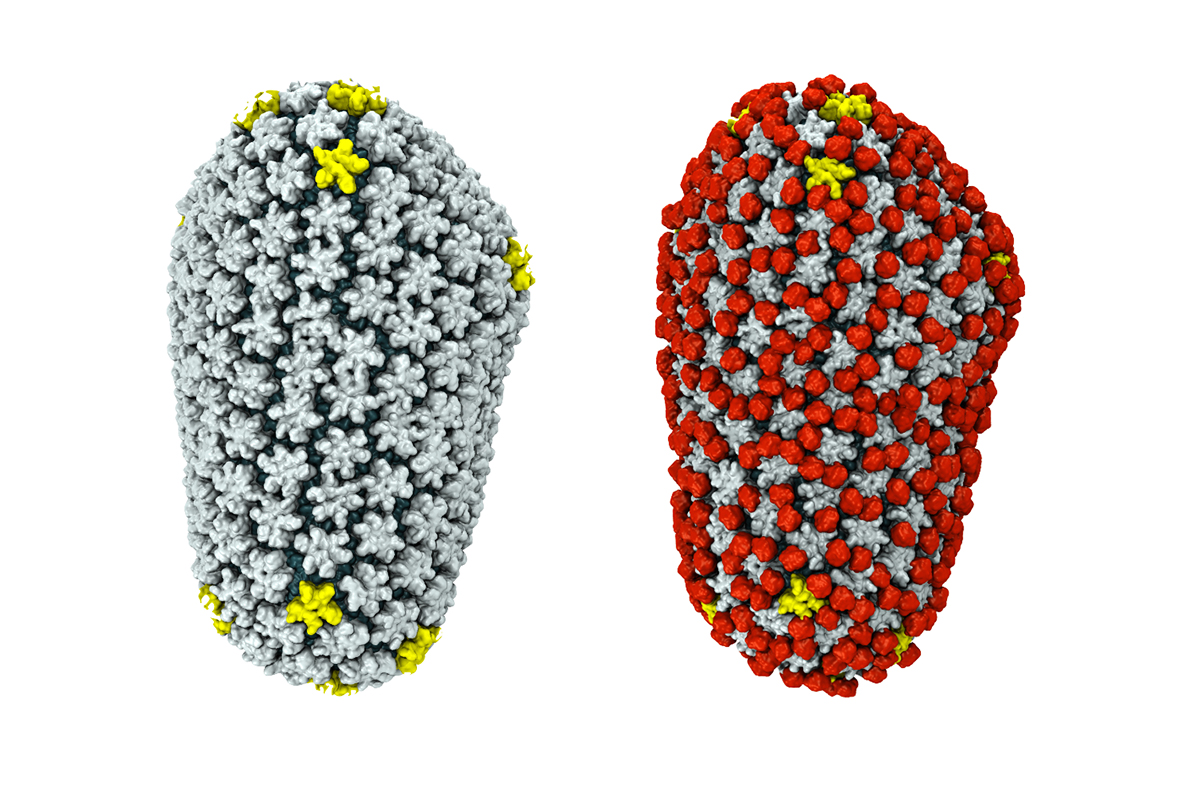 This image is 700 500 pixels and 34 kb large click here to view the - Cryo Em Reveals How The Hiv Capsid Attaches To A Human Protein To Evade Immune