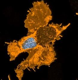 Zebrafish pigment cell